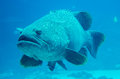 Giant Grouper Fish Looking Stock Image - 40083671