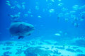 Giant Grouper Fish Looking Royalty Free Stock Photography - 40083677