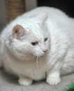 Thick White Cat Royalty Free Stock Images - 40084989
