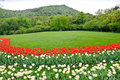 Hangzhou Prince Bay Park Blooming Tulips Royalty Free Stock Photos - 40096288