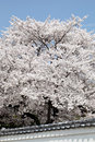 Flowering Cherry Tree Stock Photos - 40101413