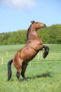 Gorgeous Big Brown Horse Prancing Royalty Free Stock Photography - 40108207