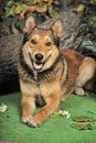 Husky Mixed With A German Shepherd Royalty Free Stock Image - 40110836