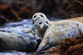 Spotted Seal Stock Photography - 40127732