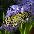 Idea Leuconoe Butterfly Royalty Free Stock Images - 40128929