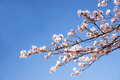 Cherry Blossom Or Sakur Stock Images - 40133194