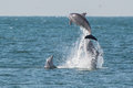 Dolphins Leaping From The Water Stock Photo - 40141190