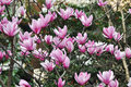 Magnolia Flowers In Sunshine Royalty Free Stock Images - 40141839