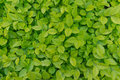 Green Leaves Background Royalty Free Stock Images - 40142149