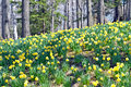 Daffodil HIll Stock Photos - 40150773