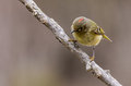 Ruby-Crowned Kinglet Stock Image - 40152151