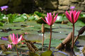 Amazing Water Lillies Royalty Free Stock Photos - 40158198