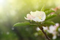 Blossoming Apple Tree Royalty Free Stock Images - 40162059