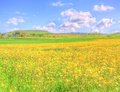 Landscape Yellow Flowers Field Under Blue Sky In Spring Royalty Free Stock Images - 40164979