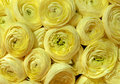 Nice - Yellow Peonies Background Royalty Free Stock Photography - 40170087