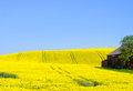 Canola Field Royalty Free Stock Photo - 40171235