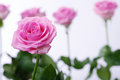 Pink Rose With Water Drops Stock Images - 40171624