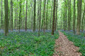 Walking Path Between The Trees And Bluebells Stock Photography - 40178062