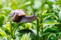 Small Garden Snail Stock Images - 40184404
