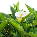 White Calla Lily Flower With Drops Is Isolated Stock Images - 40189714