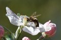 Bee On A Flower Apple Tree In Spring Garden Stock Photography - 40198582