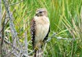 Red Shouldered Hawk Royalty Free Stock Images - 4023739