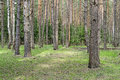 Big Pine Trunks In Spring Forest Stock Photo - 40211490