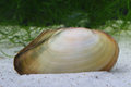 Swan Mussel (Anodonta Cygnea) On The On Ponds Bottom Royalty Free Stock Photo - 40231105