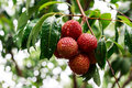 Lychee Royalty Free Stock Image - 40231696