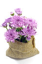 Purple Chrysanthemum. Royalty Free Stock Images - 40235779
