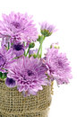 Purple Chrysanthemum. Stock Photos - 40235843