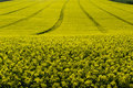 Rapeseed Field - Bio Fuel Royalty Free Stock Images - 40246239