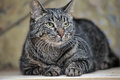 Young Tabby Cat Portrait Royalty Free Stock Photos - 40248558