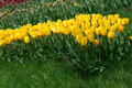 Tulip Field, Wave Of Yellow Flowers. Royalty Free Stock Photo - 40258975