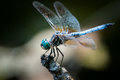 Blue Dasher Over Autumn Leaves Royalty Free Stock Image - 40271846