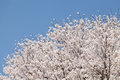 Big Cherry Blossom Tree Royalty Free Stock Image - 40278096