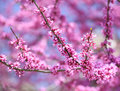Purple Spring Blossom. Cercis Canadensis Or Eastern Redbud Royalty Free Stock Images - 40279169