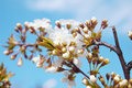 Flowers Of Tree In Spring Royalty Free Stock Photos - 40283128