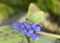 Butterfly Callophrys Rubi Stock Images - 40290914