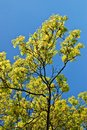 Blooming Maple Tree Twig In Early Spring Stock Images - 40294194