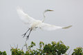 Great Egret In Flight Royalty Free Stock Images - 40294889