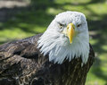 American Bald Eagle Stock Photos - 40295623