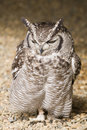 Spotted Eagle Owl Stock Image - 4038811
