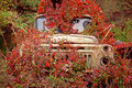 Old Truck  Overgrown Red Wild Grapes Royalty Free Stock Photo - 40317605