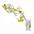 Branch With White Spring Blossoms In Glass Vase Isolated Royalty Free Stock Photo - 40329745