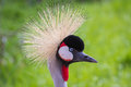 East African Crowned Crane Royalty Free Stock Photo - 40331045