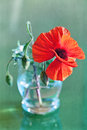 Red Poppies Stock Photos - 40332913