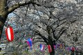 Cherry Blossom And Lanterns Stock Photography - 40350302