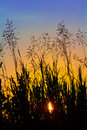 Silhouette Of Grass At Sunset Against The Evening Sky Stock Image - 40364691