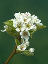Pear Tree In Blossom Royalty Free Stock Images - 40382449
